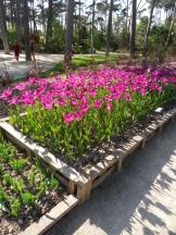 Tulipe-Mania (37)