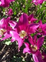 Tulipe-Mania (39)