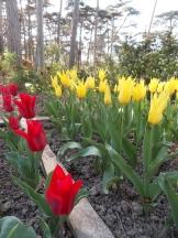Tulipe-Mania (45)