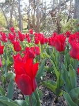 Tulipe-Mania (46)