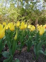 Tulipe-Mania (48)