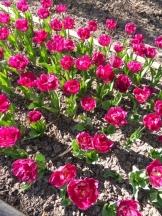 Tulipe-Mania (49)