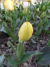 Tulipe-Mania (6)