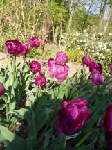 Tulipe-Mania (60)