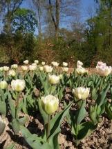 Tulipe-Mania (67)