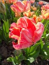 Tulipe-Mania (75)