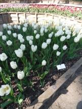 Tulipe-Mania (77)