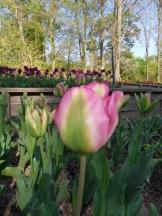 Tulipe-Mania (78)