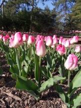 Tulipe-Mania (80)