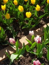 Tulipe-Mania (99)