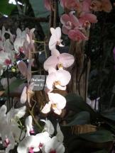 1001 Orchidées .. (33)